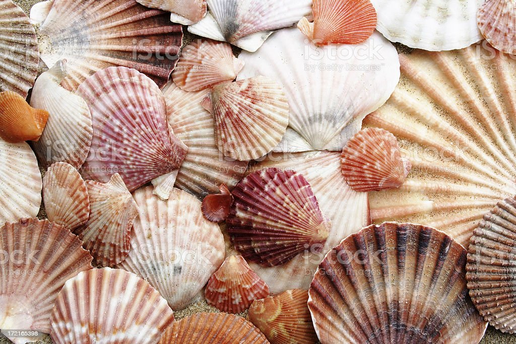 pink scallops royalty-free stock photo
