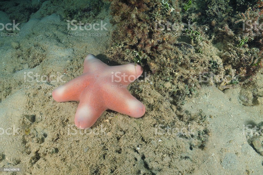 Pink sea star on silty bottom stock photo