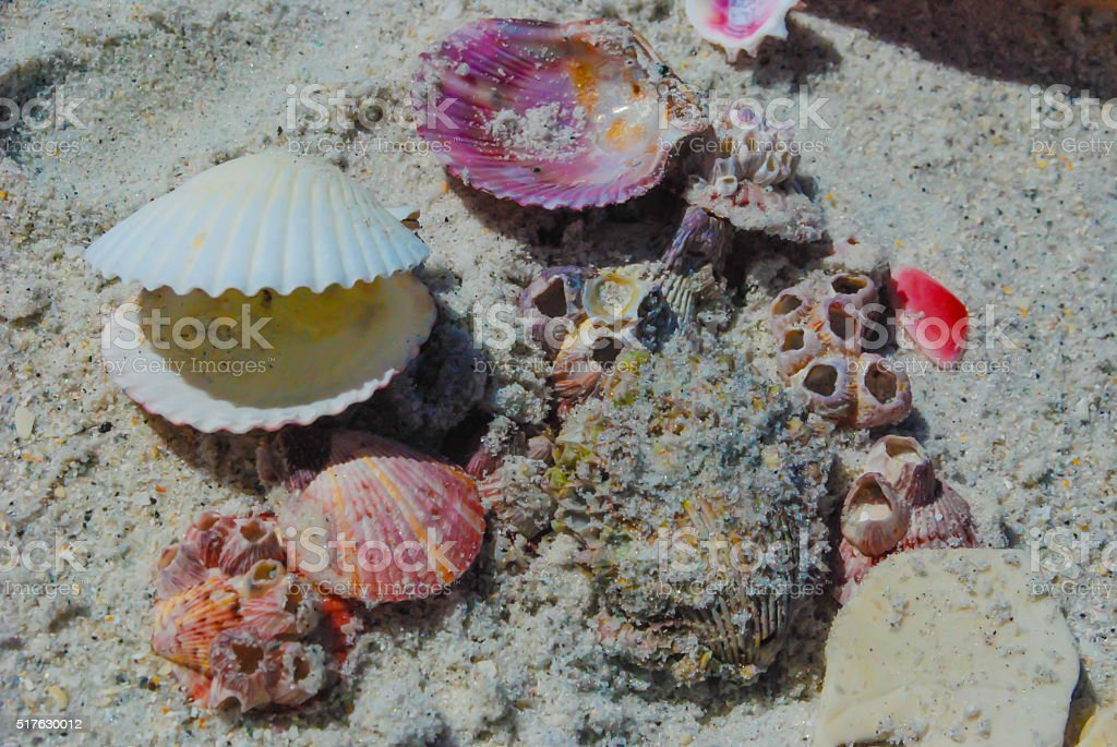 Pink seashells and barnacles in sand on Florida beach stock photo