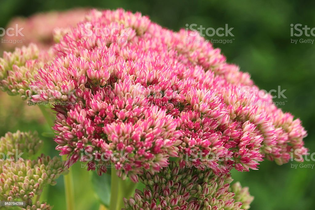 Pink sedum spectabile flowers, flowering Hylotelephium spectabile image, stonecrop, ice-plant stock photo