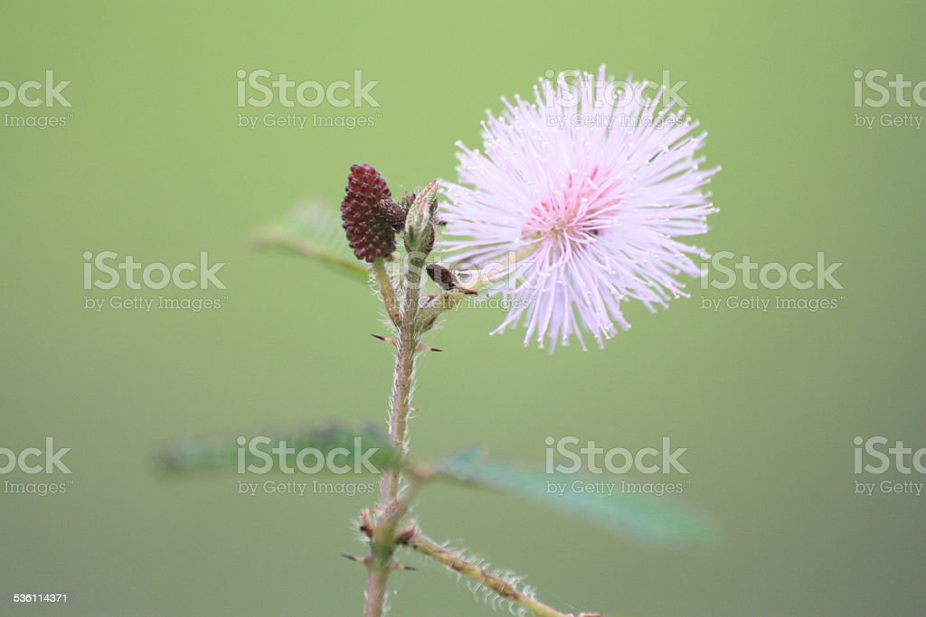 Pink Sensitive plant in Nature stock photo