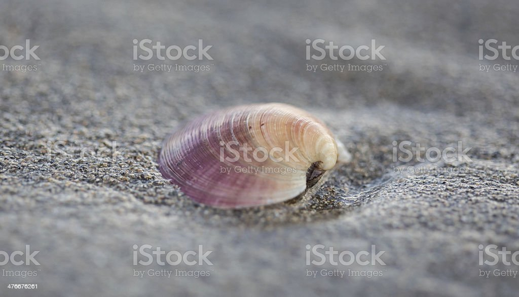 Pink shell on sandy beach royalty-free stock photo