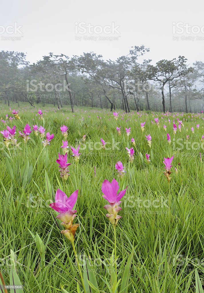 Pink Siam Tulip field royalty-free stock photo