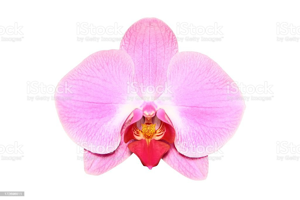 Pink, single orchid on a white background stock photo