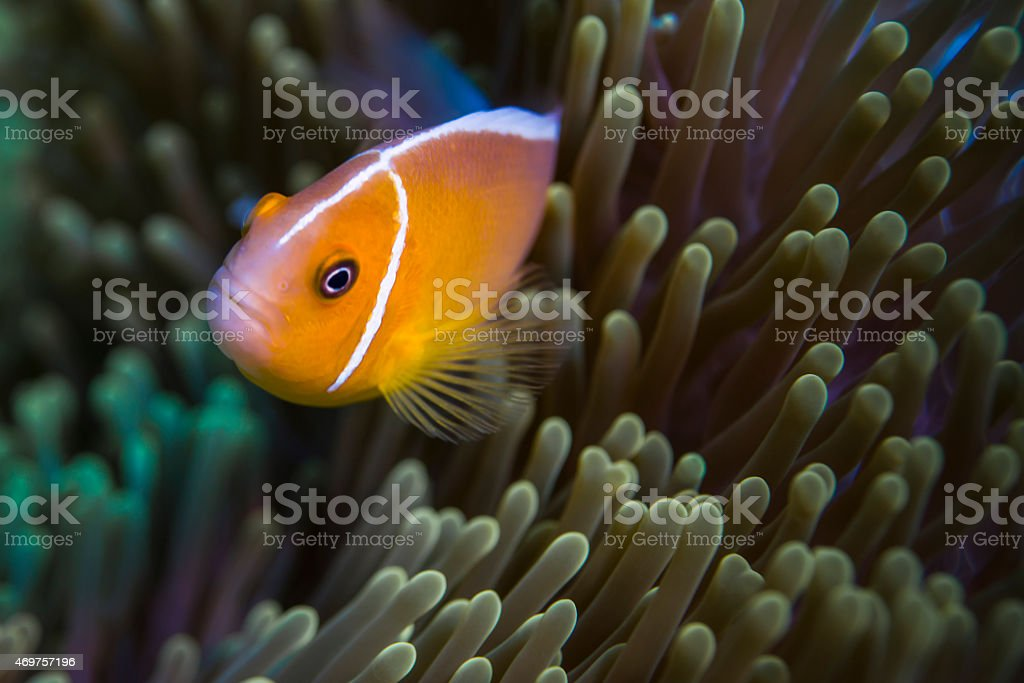 Pink Skunk Clownfish and Anemone stock photo
