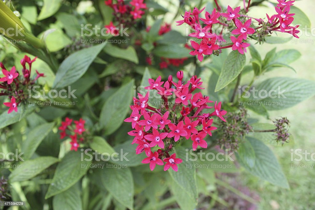 Pink Small Flowers royalty-free stock photo