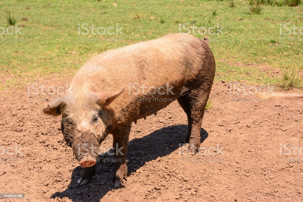 Pink sow dirty of mud stock photo