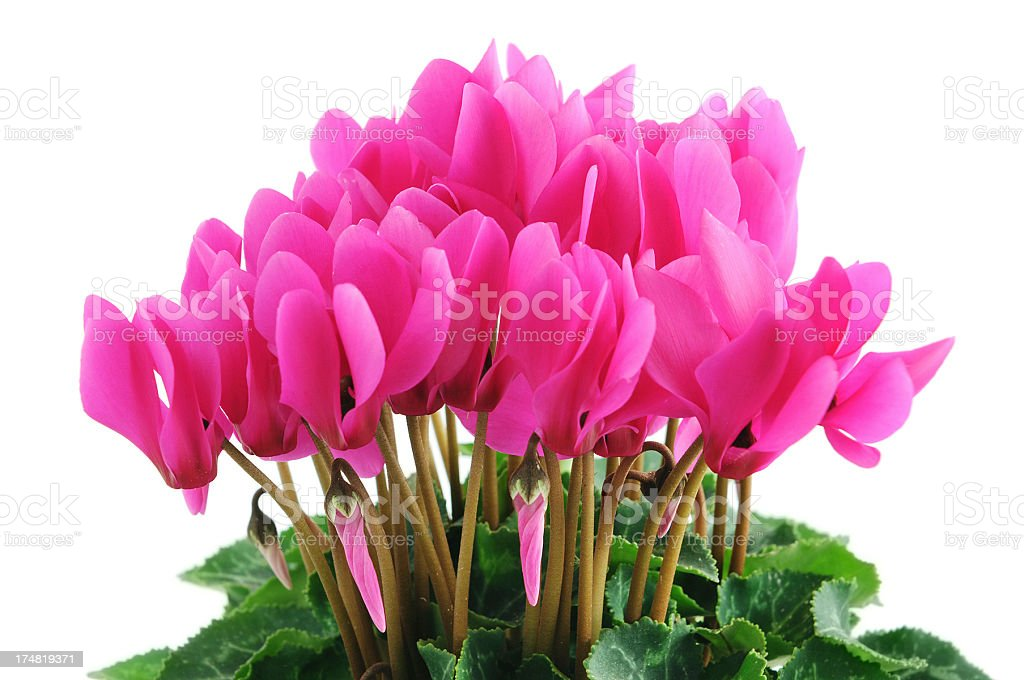 pink sowbread (Cyclamen) on white background stock photo