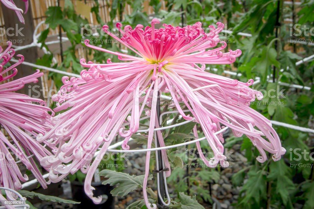 Pink spider Chrysanthemum Japanese flower blooming in the garden stock photo