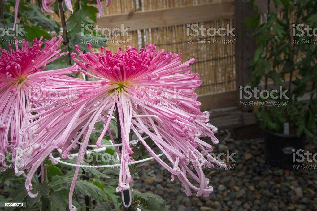 Pink spider Chrysanthemum Japanese flower in the garden stock photo