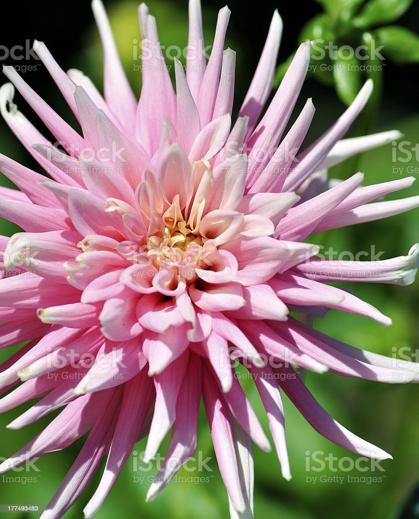 Pink Spider Chrysanthemum stock photo