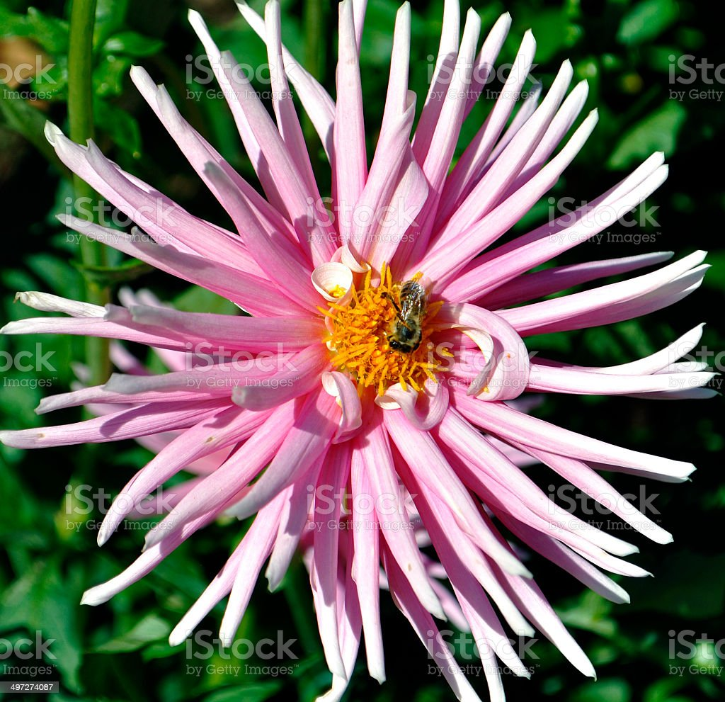 Pink Spider Chrysanthemum, with Bee 2 stock photo