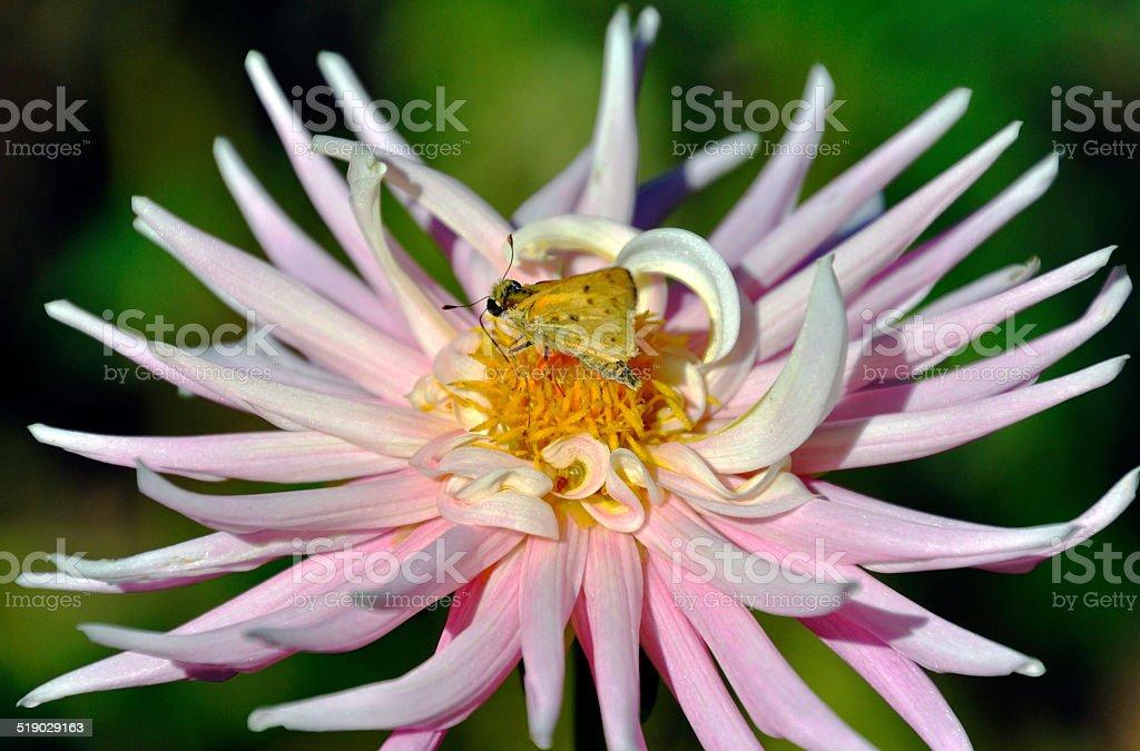 Pink Spider Chrysanthemum, with Moth 1 stock photo