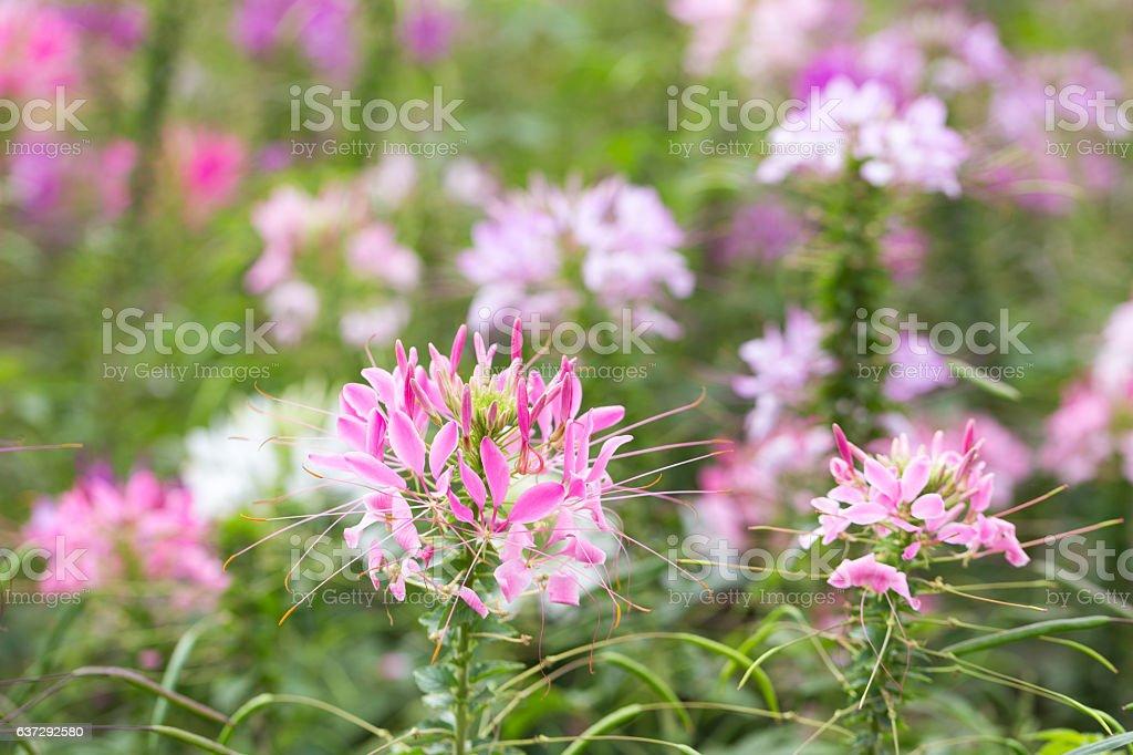 pink spider flower in garden stock photo