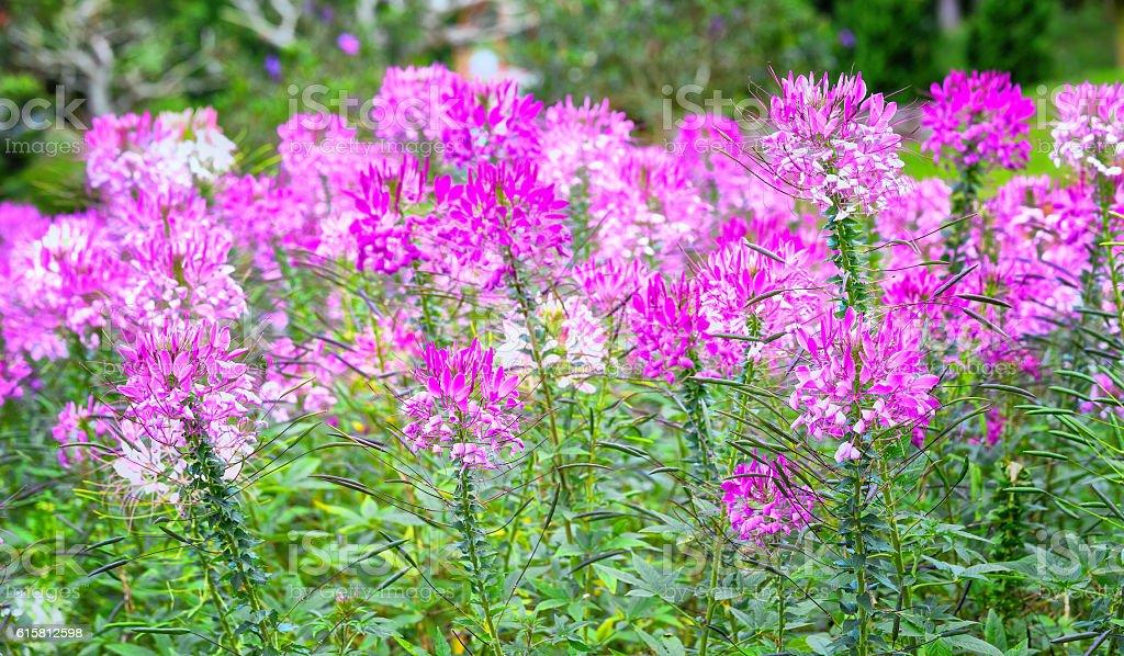 Pink spider flower in the garden stock photo