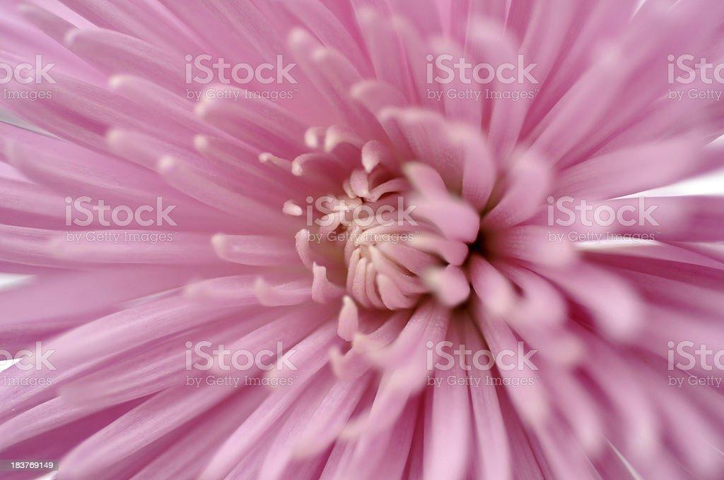 Pink Spider Mum stock photo