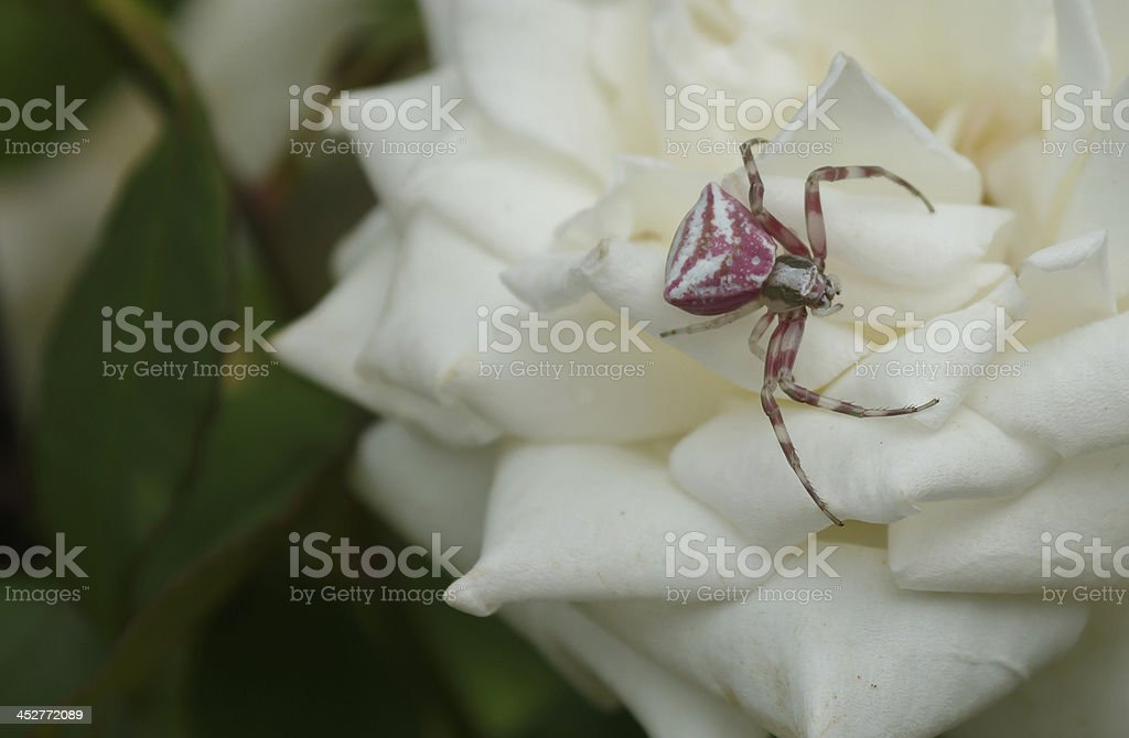 pink spider royalty-free stock photo