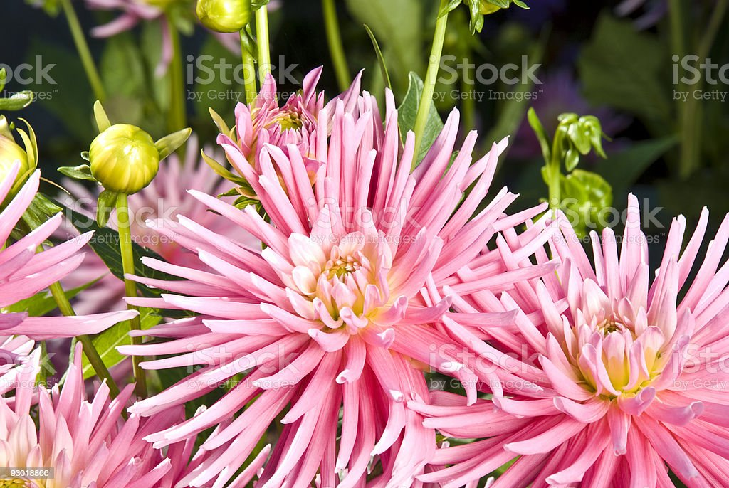 pink spiked flowers stock photo