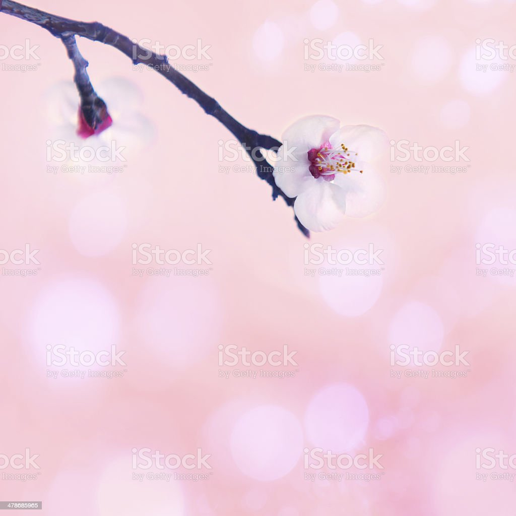 Pink Spring Blossom In the Nature on the Beautiful Day stock photo