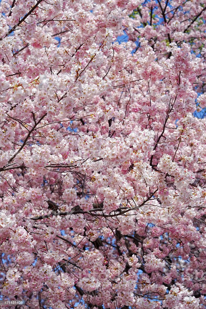Pink Spring Blossoms royalty-free stock photo