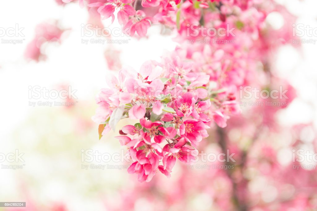Pink Spring Cherry Blossom Flowers in Bloom Central Park stock photo