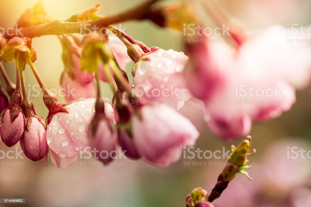 Pink Spring cherry blossom stock photo