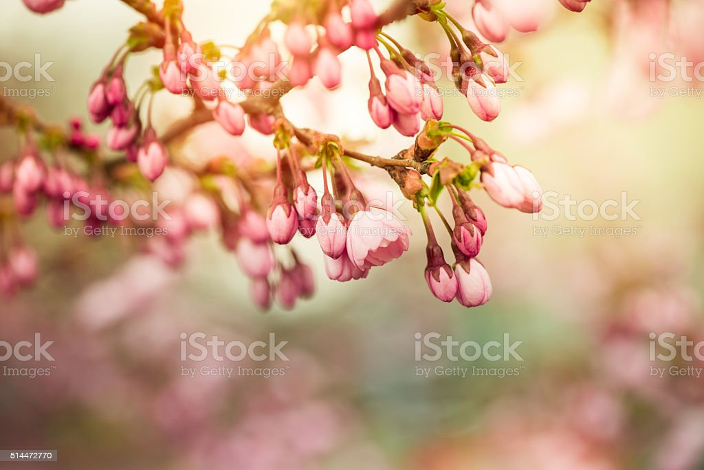 Pink Spring cherry blossom stock photo