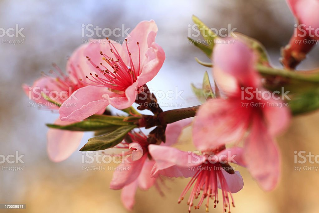 Pink spring flowers are just blooming petals royalty-free stock photo