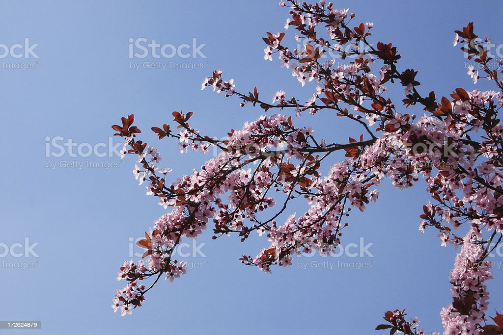 pink spring flowers royalty-free stock photo