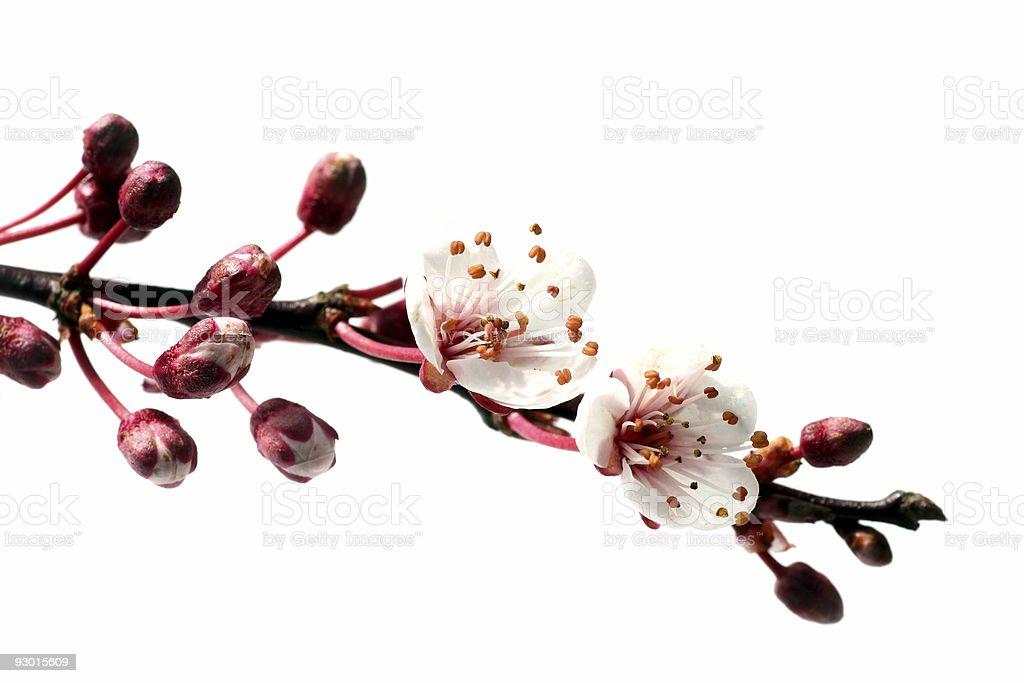 pink spring on white royalty-free stock photo