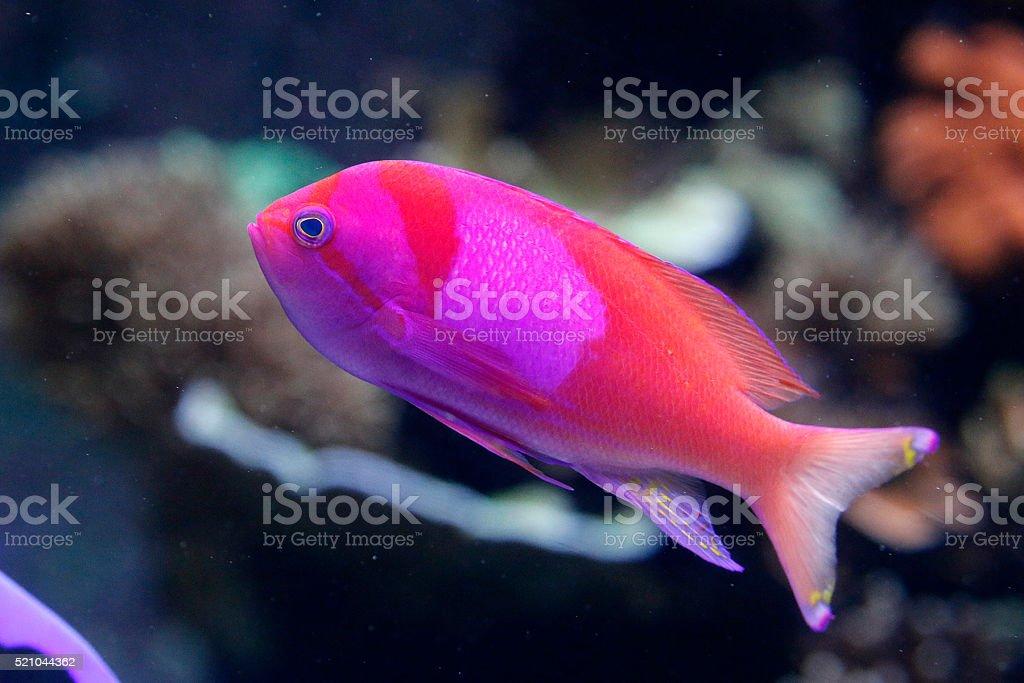 Pink Square Anthias stock photo