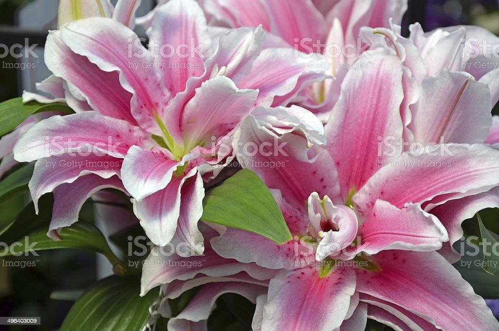 Pink stargazer lily flowers stock photo