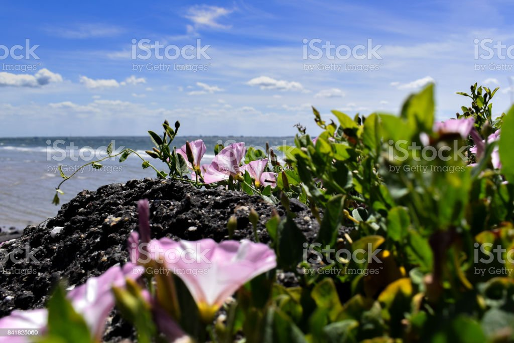 Pink stone flowers at the beach stock photo