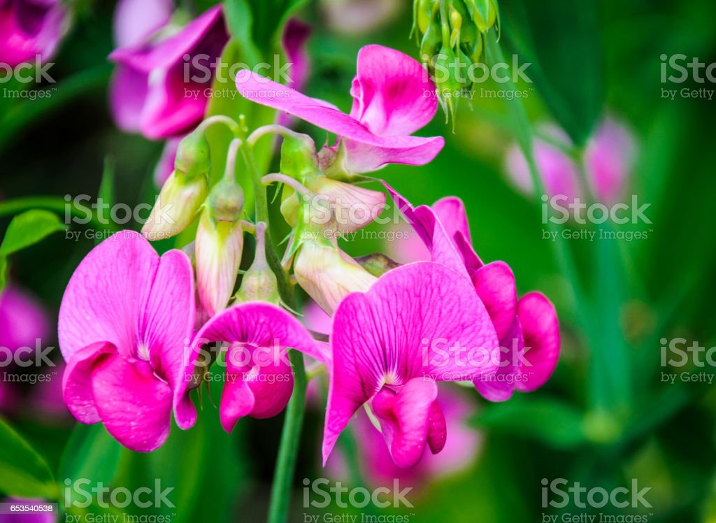 Pink Sweet Pea Blossom stock photo