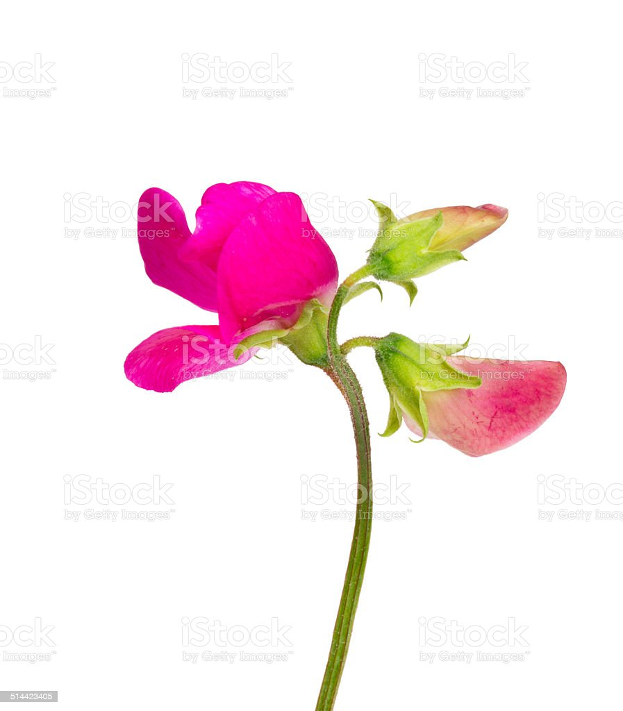 pink sweet pea isolated on white stock photo