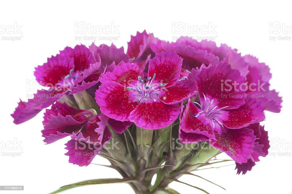 Pink Sweet William (Dianthus Barbatus) Flowers stock photo