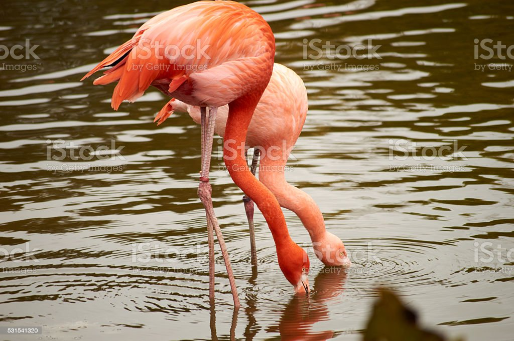 pink tenderness flamingo in the pond stock photo