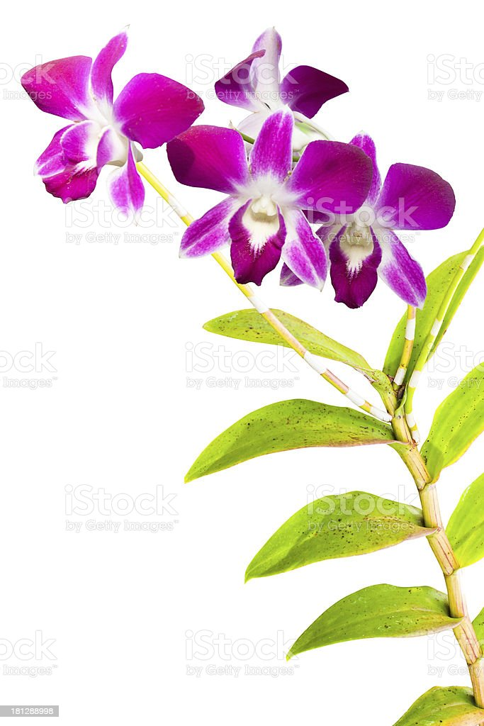 pink thai orchids flowers. royalty-free stock photo