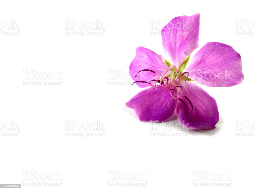 Pink Tibouchina Flower royalty-free stock photo