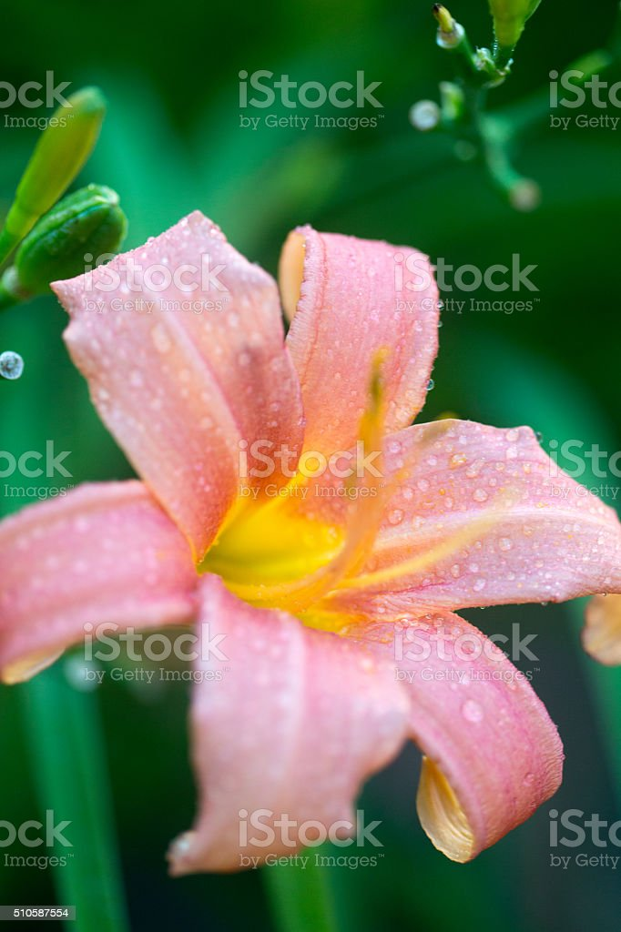 Pink tiger lily stock photo