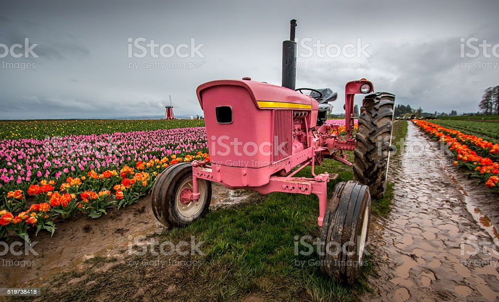 Pink Tractor Blooming Tulips Portland Oregon Farm Fields Spring Flowers stock photo