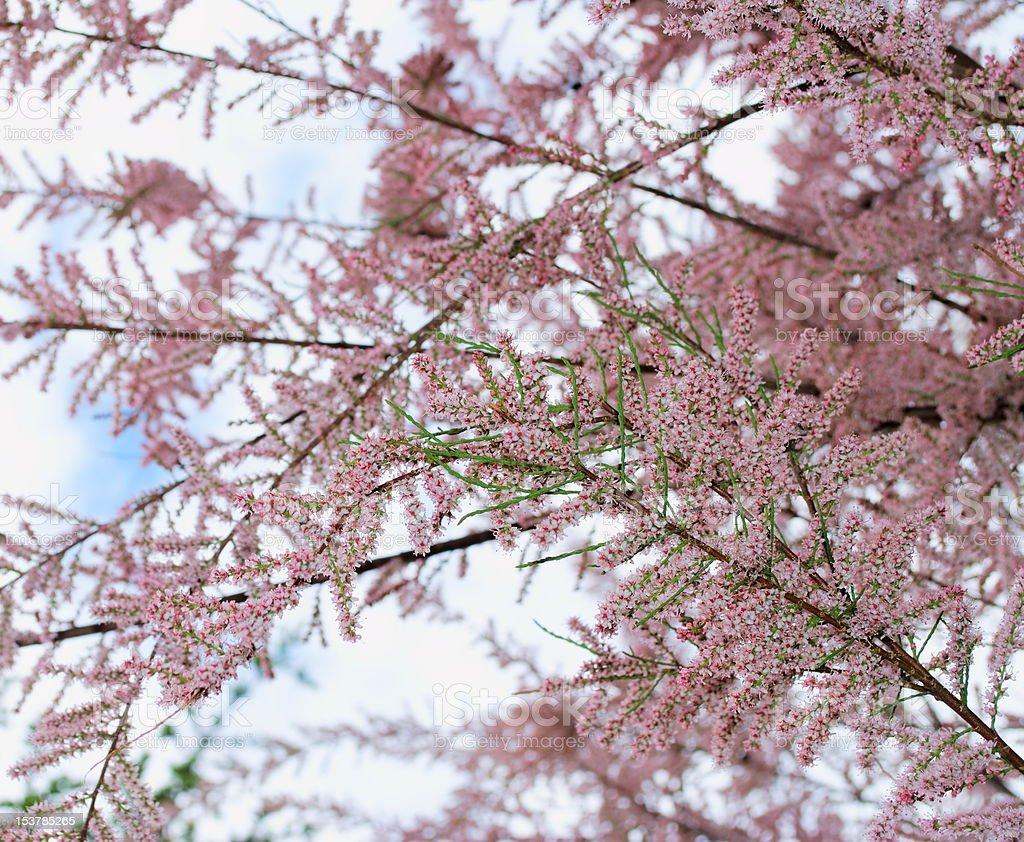 Pink tree blossom royalty-free stock photo