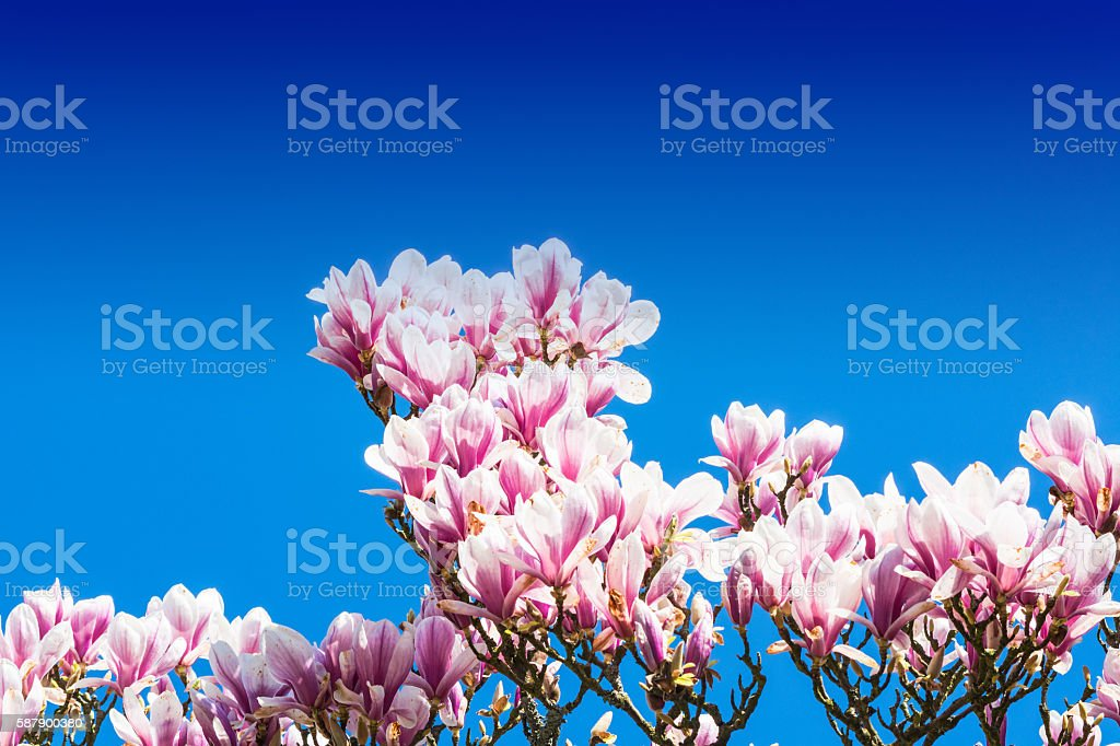 Pink tree blossoms in spring stock photo