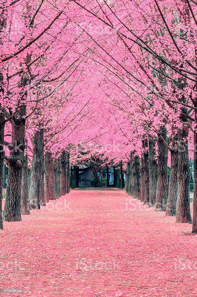 Pink tree,Nami Island in Korea stock photo