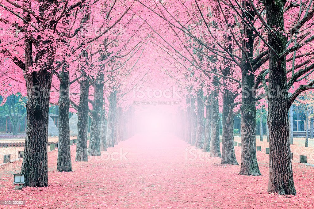 Pink tree,Nami Island in Korea stock photo