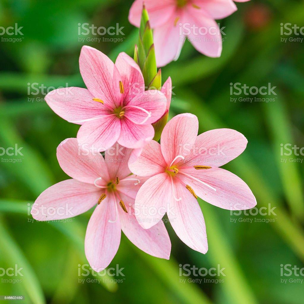 Pink Trio stock photo