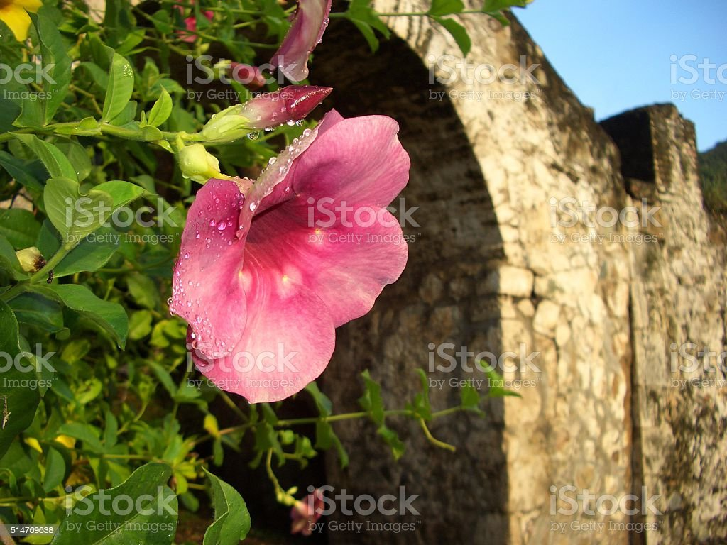 pink tropical flower and stone arch Caribbean stock photo