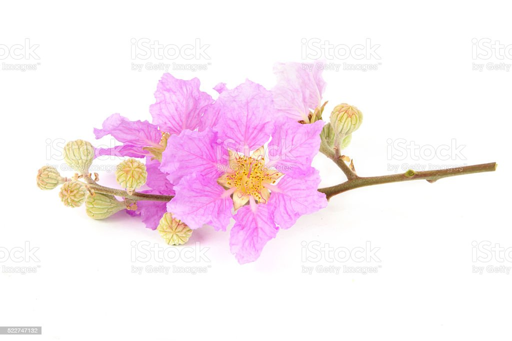 Pink tropical flower isolated stock photo