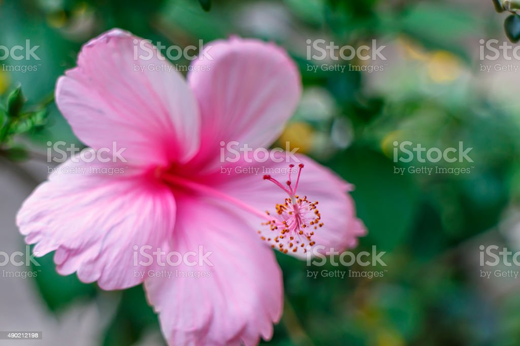 pink tropical flower out of focus stock photo