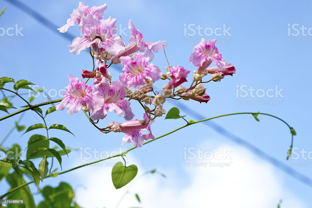 pink trumpet flower royalty-free stock photo